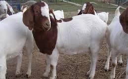 akikah dengan kambing yang dikebiri