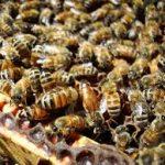 Anak Lebah