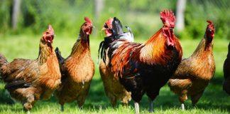merusak tanaman bulu ayam
