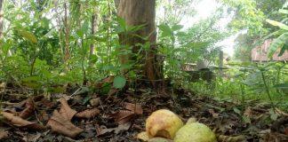 buah yang jatuh