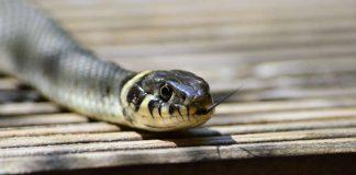 digigit ular