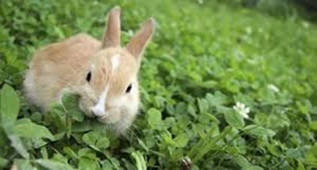hukum memakan kelinci