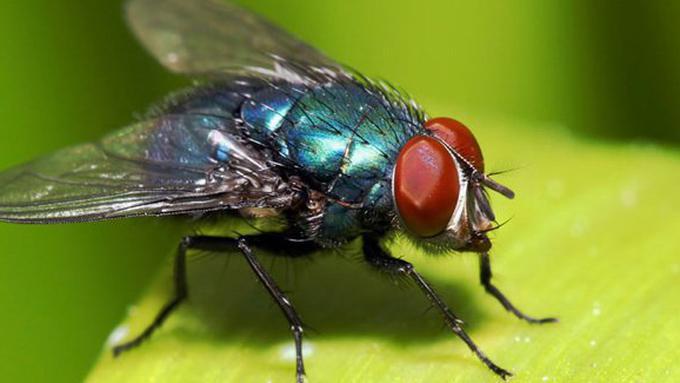 kotoran lalat