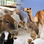 hewan ternak yang wajib dizakati