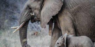 makan daging gajah