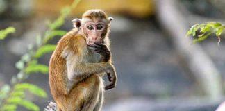 menjual monyet