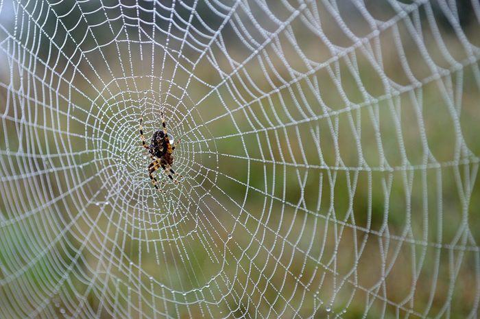 sarang laba-laba najis