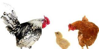 Abu Nawas disuruh berubah menjadi ayam