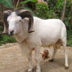 Nama Nabi Muhammad saat menyembelih hewan