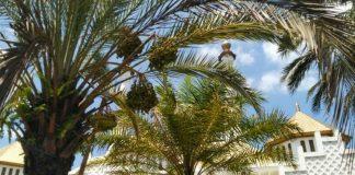 Mengambil Buah dari Pohon yang Tumbuh di Halaman Masjid