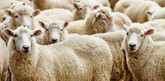 menerima hewan kurban dari non-muslim