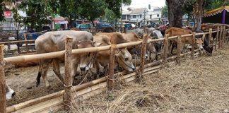 penyembelihan hewan kurban