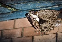 air liur burung walet