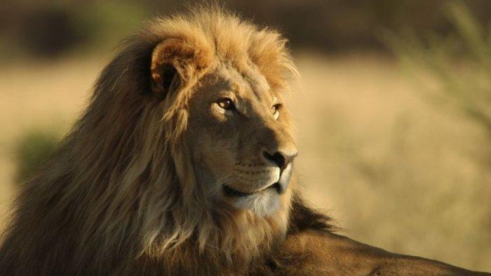 mimpi melihat singa