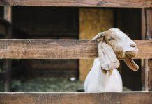 umur minimal kambing