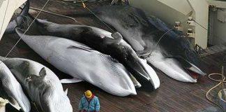 daging ikan paus