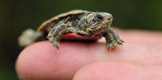 hukum memelihara kura-kura