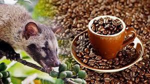 hukum mengonsumsi kopi luwak