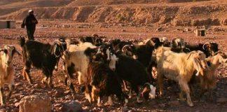 Hikmah Nabi Muhammad menggembala kambing