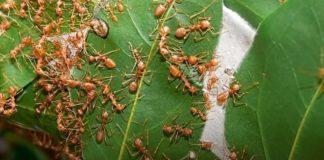 Hukum Membunuh Semut