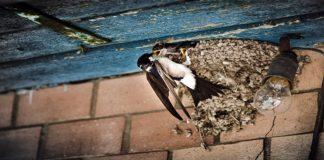 Makan Burung Walet