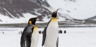 makan daging penguin